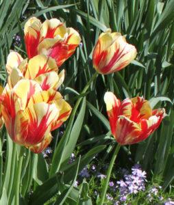 red-n-yelo-tulips