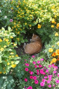 Orange tiger kitty surrounded by yellow and pink flowers in the First Farm Inn gardens.